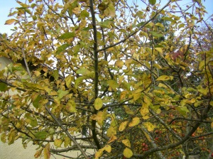 The leaves are tenaciously attached to this wild apple tree.