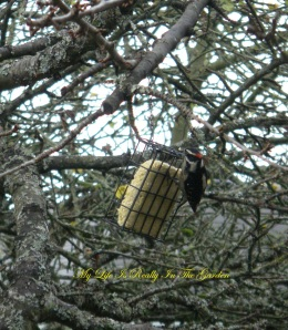 No worries, little woodpecker .. I have lots of suet for the winter .. nibble away!