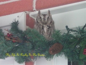 Horned owl Pictures 003 (2)