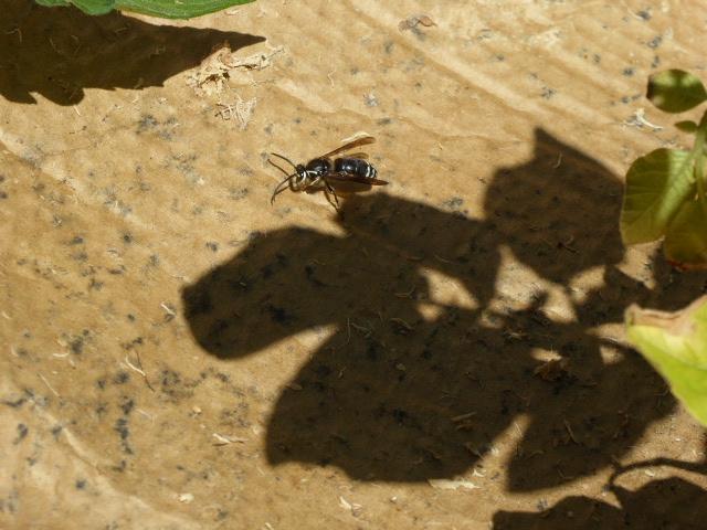 13, wasp