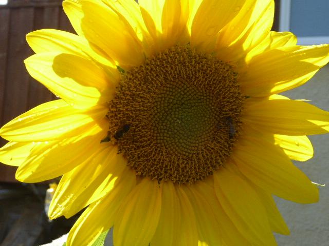 19, sunflower